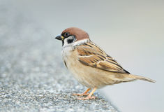 Sparrow perched on a branch Royalty Free Stock Photo
