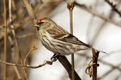 Sparrow perched in the branches. With blurred background Stock Image