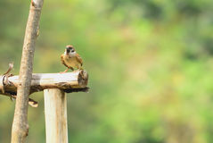Sparrow. Perched on the branches carefully Royalty Free Stock Images