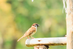 Sparrow. Perched on the branches carefully Royalty Free Stock Photo