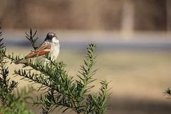 Sparrow Perched in Bush Royalty Free Stock Image