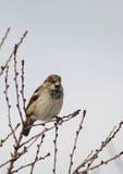 Sparrow Perched in a Bush Stock Photos