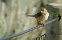 Sparrow Perched on Fence Cable. A lone sparrow perching on a fence cable, out of focus grey-green beach foliage in the background Royalty Free Stock Photos