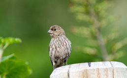 Sparrow. Perched on a fence post with deep green foliage out of focus in the background stock image