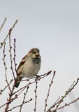 Sparrow Perched i en Bush Arkivfoton