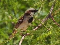 Sparrow perched på filial Royaltyfria Foton
