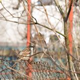 Sparrow perched on rusty wire fence royalty free stock photo