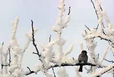 Sparrow perched on a snow covered tree limb. White-throated Sparrow perched on a snow covered tree limb royalty free stock image