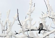 Sparrow perched on a snow covered tree limb. White-throated Sparrow perched on a snow covered tree limb stock photography