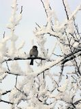 Sparrow perched on a snow covered tree limb. White-throated Sparrow perched on a snow covered tree limb royalty free stock photo