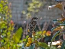 Sparrow perched on top of a fruit tree under the shade royalty free stock photography