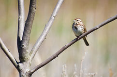 Sparrow Perched in Tree. A Song Sparrow Perched in Tree Stock Photo