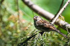 Sparrow Perched in a Tree Stock Photos
