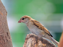 Sparrow, perched on a tree stump Stock Image