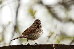 A sparrow perched on a  wall in the spring. stock photo