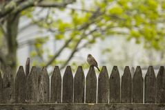 Sparrow perched on a wooden fence with trees in the background royalty free stock image