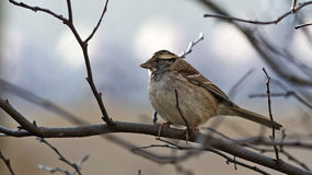 Sparrow perches on a branch Stock Photos