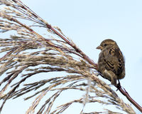Sparrow perches on a bush Stock Photo