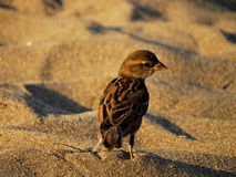 Sparrow perching on the sand, beach Stock Images