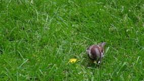 Sparrow picking crumbs from grass stock video