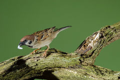 Sparrow picking up food. Royalty Free Stock Image