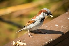 Male Sparrow With Food. Sparrow picks up food pellet in warm spring afternoon stock photography