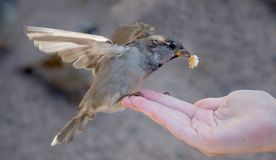 Sparrow with piece of bread on human hand stock photos