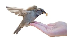 Sparrow with piece of bread and human hand stock images