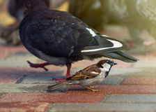 Sparrow and pigeon. Royalty Free Stock Photo