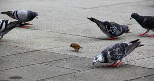 Sparrow and pigeons Stock Images