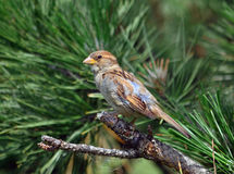 Sparrow on a pine tree Stock Images