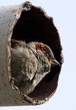 Sparrow in the pipe royalty free stock photos