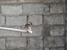 Sparrow in a pipe royalty free stock image