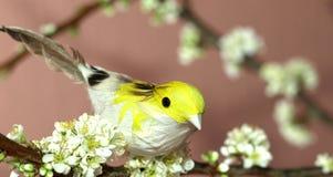 Sparrow on plum tree Stock Image