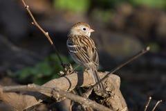 sparrow pola Zdjęcia Stock