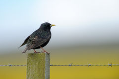 Sparrow on a pole. With barbed wire Royalty Free Stock Image