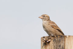 Sparrow on a pole royalty free stock images