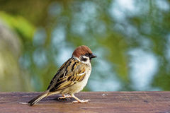 Sparrow in the pond Stock Photography