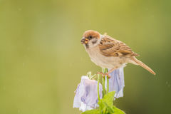 Sparrow on poppy flowers Royalty Free Stock Image