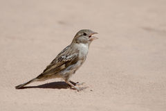 Sparrow portrait in floor Royalty Free Stock Photography