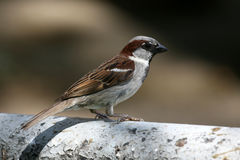 Sparrow Royalty Free Stock Photography