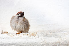 Sparrow posing in the city. The Sparrow posing in the city stock images