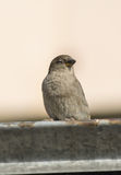 Sparrow posing on the roof Stock Images