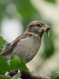 Sparrow with prey royalty free stock photography