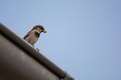 Sparrow with prey on gutter Royalty Free Stock Photo