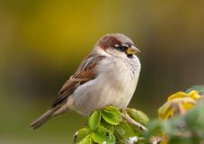 Sparrow in a profile Stock Photography