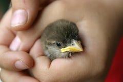 sparrow ręka dziecka Obraz Royalty Free