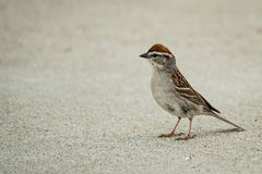 Sparrow after the Rain royalty free stock photography