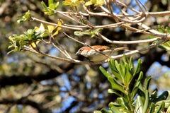 Sparrow-Ready for Flight stock photos
