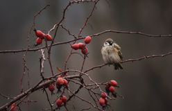 A sparrow among the red hips of the dog rose. royalty free stock images
